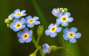 Picture macro, background, Forget-me-nots