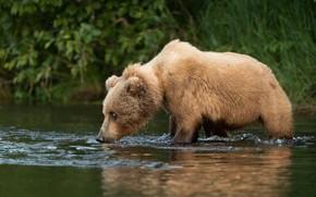 Wallpaper summer, grass, look, face, river, shore, bear, bathing, bear, bear, pond, young, brown, angler, teen
