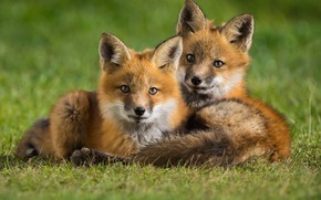 Picture animals, grass, nature, pair, Fox, cubs, cubs