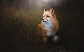 Picture background, portrait, Fox, red