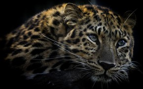 Picture leopard, face, coloring