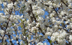 Picture branches, cherry, spring, flowering, flowers