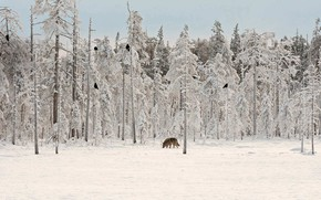 Picture winter, wolf, Raven, Finland, forest