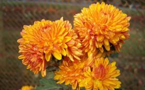 Picture autumn, drops, flowers, chrysanthemum, Meduzanol ©