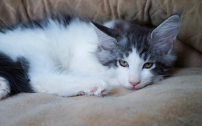 Picture cat, look, kitty, cute, lies, kitty, grey with white