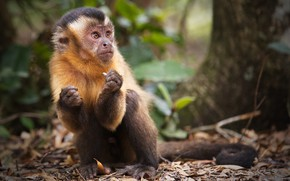 Picture trees, nature, animal, monkey, Capuchin