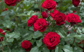Picture roses, petals, red, buds, flowering