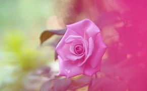Picture background, tenderness, rose, rosette, pink rose