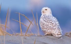 Picture background, owl, bird, Snowy owl, White owl