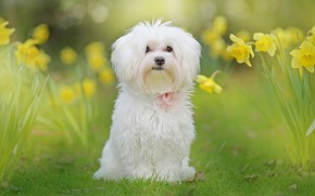 Picture white, flowers, nature, dog, daffodils