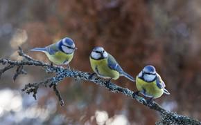 Picture birds, nature, branch, trio, bokeh, Tits, Atte Röyskö