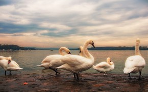 Picture the sky, clouds, birds, nature, overcast, shore, treatment, pack, group, boats, haze, white, swans, pond, …