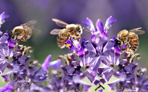 Picture macro, light, flowers, insects, bee, bees, pollination, lilac, bokeh, bees, bees, lilac background, women