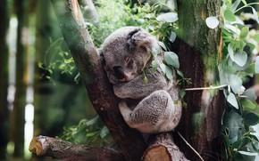 Picture leaves, tree, branch, sleeping, Koala