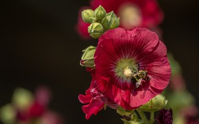 Picture macro, bumblebee, mallow