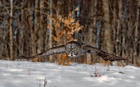 Picture winter, forest, snow, trees, flight, nature, owl, bird, owl, flying, wingspan