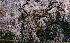 Picture Tree, Sakura, Japan, Kyoto, Flowering, Khans