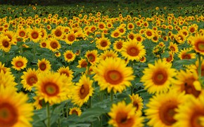 Picture field, summer, sunflowers, flowers, yellow, a lot, sunflower, field of sunflowers