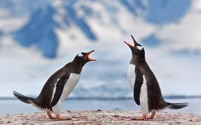 Picture bird, pair, Antarctica, gentoo penguin