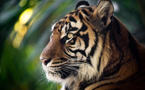 Picture face, tiger, portrait, profile, wild cat, bokeh