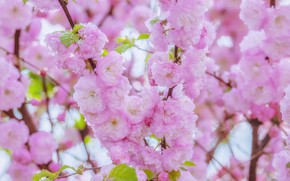 Picture cherry, Sakura, flowering, blossom, background, sakura, cherry, japanese, bloom