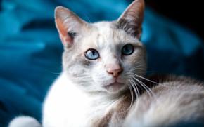 Picture cat, white, cat, mustache, look, face, portrait, light, blur, fabric, blue background, Kote, blue-eyed