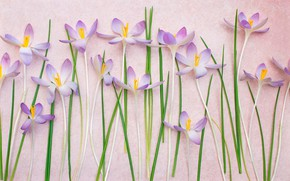 Picture leaves, background, stems, petals, crocuses, saffron