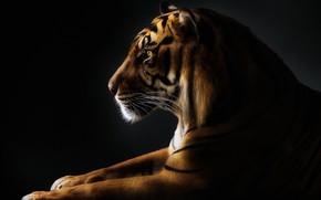 Picture mustache, tiger, paws, tiger, paws, mustache, Pedro Jarque
