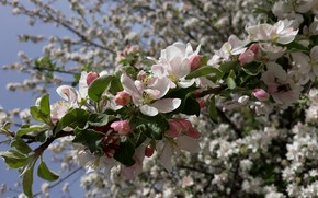 Picture Flowers, spring, Apple