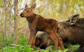 Picture forest, animals, nature, cub, moose, calf