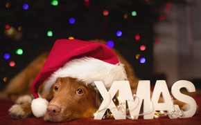 Picture look, lights, pose, letters, the dark background, room, the inscription, dog, red, Christmas, puppy, New …