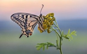 Picture butterfly, swallowtail, tansy