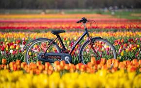 Picture field, flowers, bike, tulips, New Jersey, New Jersey, Holland Ridge Farms