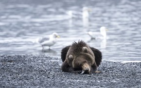 Picture birds, river, bear