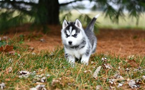 Picture autumn, leaves, branches, nature, pose, background, dog, baby, puppy, walk, face, needles, husky, Siberian husky
