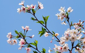 Picture the sky, branches, apple, spring, flowering, sky, pink, blossom, spring, bloom