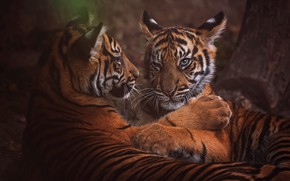 Wallpaper look, face, nature, tiger, pose, the dark background, tree, stay, portrait, paws, pair, kittens, wild ...