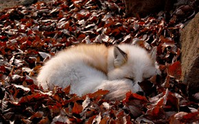 Picture Fox, fallen leaves, curled up