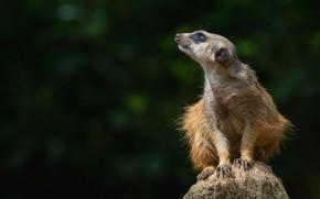 Picture look, pose, the dark background, stone, animal, sitting, wildlife, meerkat, meerkat