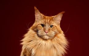 Picture cat, cat, look, pose, background, portrait, red, muzzle, Maine Coon, Studio