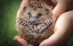 Picture look, needles, nature, tangle, pose, green, background, people, legs, hands, animal, hedgehog, hedgehog, hedgehog, hedgehog, …