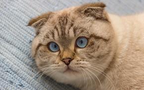 Picture cat, cat, look, face, background, portrait, fold, lies, blue eyes, color-point