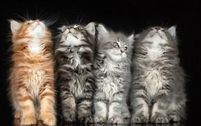 Picture kittens, fluffy, black background, Quartet