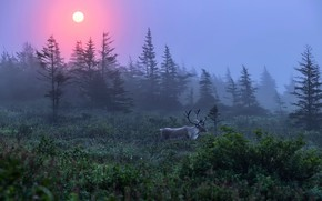 Picture forest, nature, fog, deer, morning