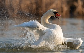 Picture white, water, squirt, pose, bird, wings, Swan, pond, stroke, swimming