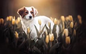 Picture look, flowers, dog, tulips, buds, yellow, Kooikerhondje