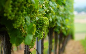 Picture Nature, grapes, bunch, the vineyards