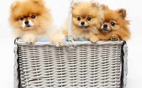 Picture puppies, Basket, White background, Dogs, three, Spitz