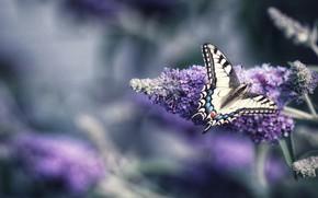 Picture macro, flowers, butterfly, lilac, bokeh, swallowtail