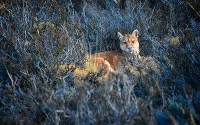 Picture look, face, branches, pose, stay, vegetation, lies, Puma, shrubs, Cougar